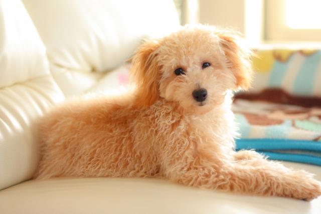 マンションで犬を飼いたい!集合住宅でおすすめの犬種は?